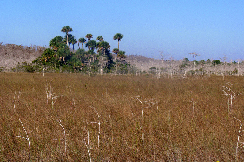 An island of palm trees rests in a prarie of dwarf cypress trees on the final morning of the Big Cypress hike.  <br /> PHOTO CREDIT: Donn Brown / Florida Trail Association