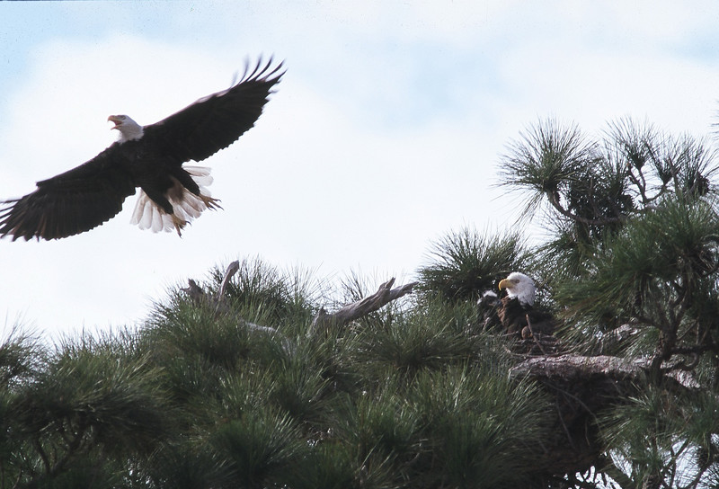 Nesting bald eagles<br /> PHOTO CREDIT: Claudine Laabs
