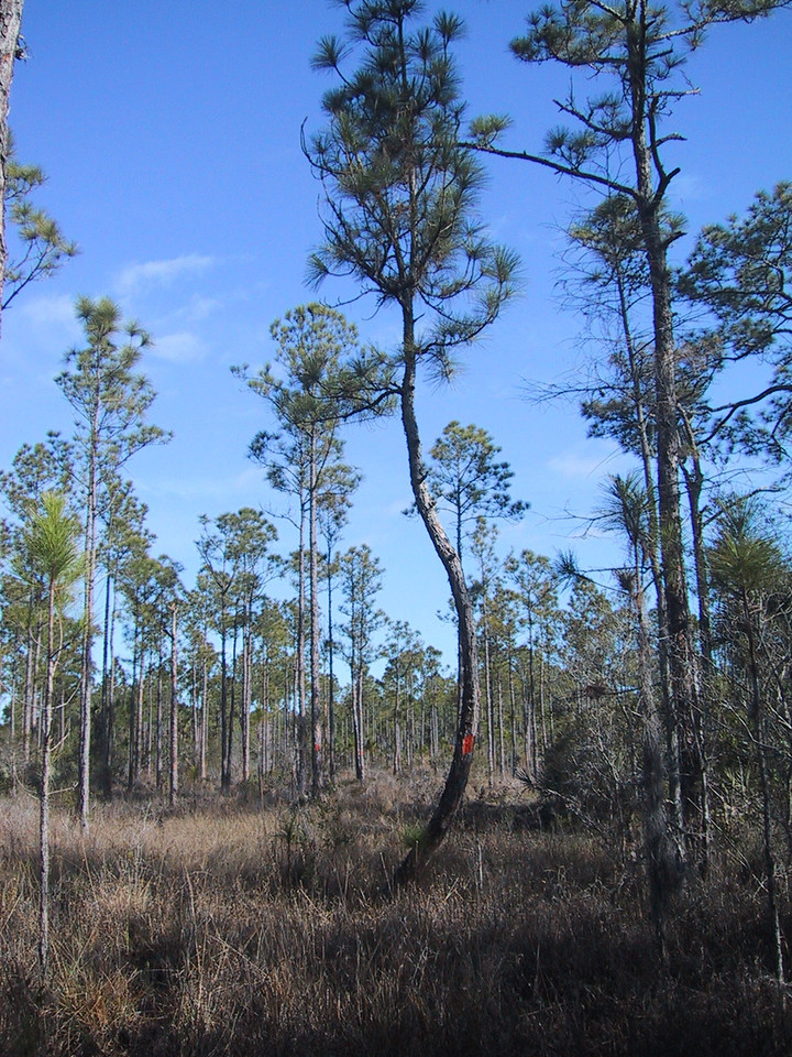 Amid pine and cypress in Corbett WMA, Florida Trail Ocean to Lake section<br /> photo credit: Sandra Friend / Florida Trail Association