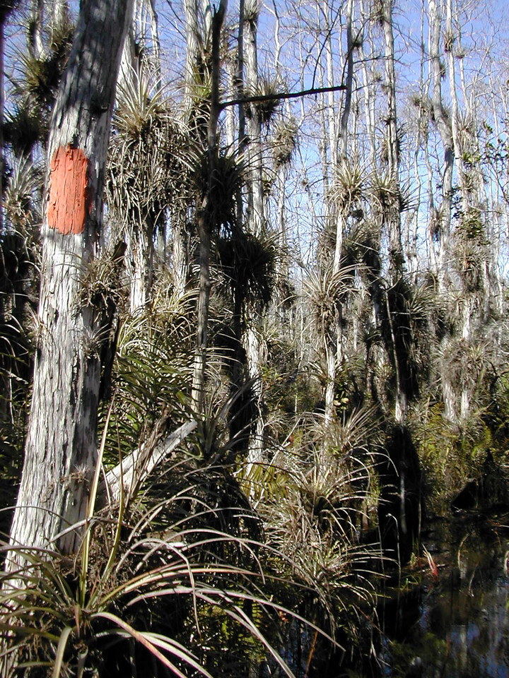 """The Florida Trail passes through """"The Hole in the Wall,"""" a lush cypress strand in Corbett WMA<br /> photo credit: Sandra Friend / Florida Trail Association"""
