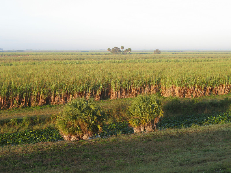 Sugar cane fields near Moore Haven<br /> PHOTO CREDIT: Sandra Friend / Florida Trail Association