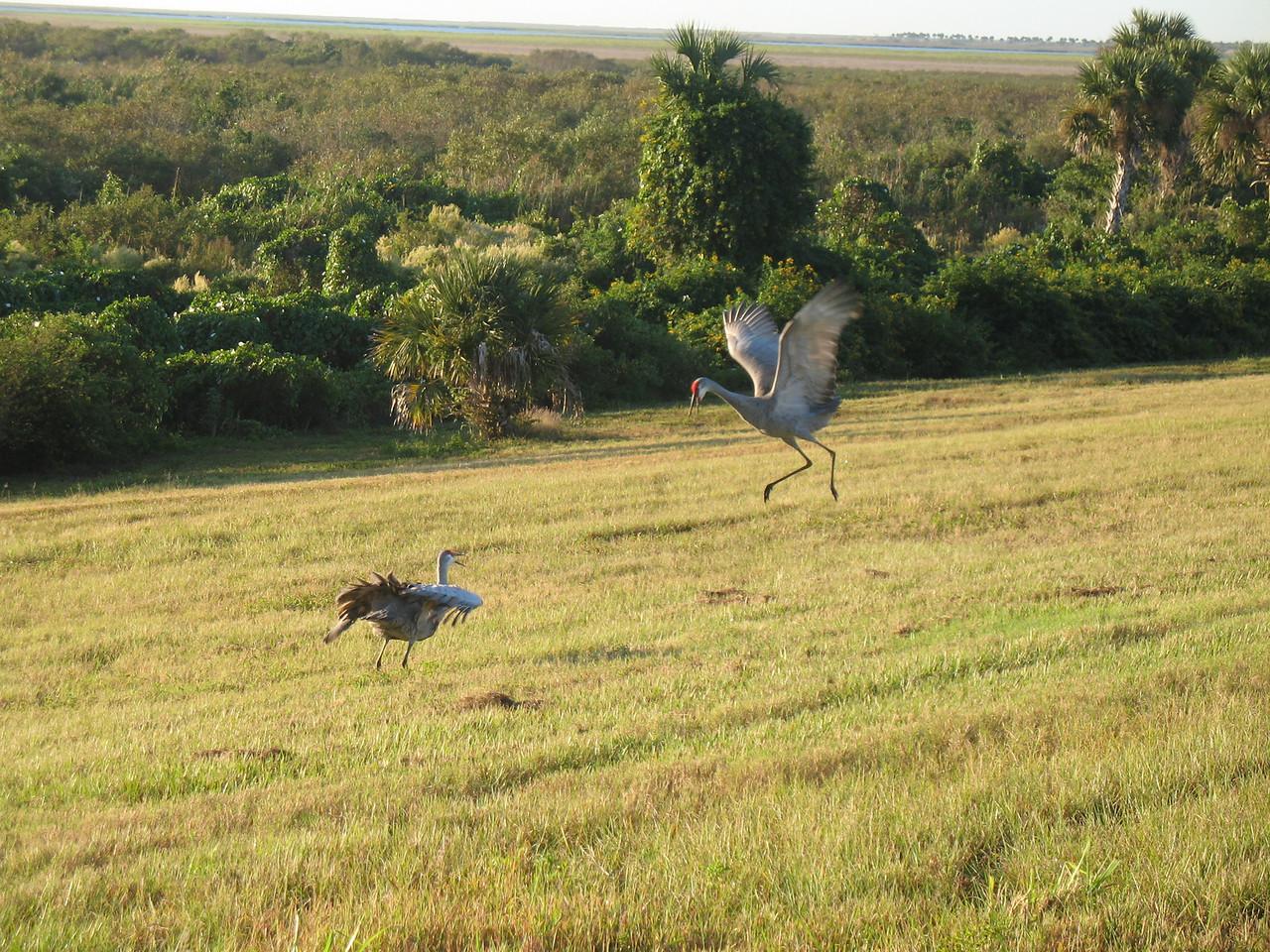 Sandhill cranes dance atop the dike at Okeechobee<br /> PHOTO CREDIT: Sandra Friend / Florida Trail Association