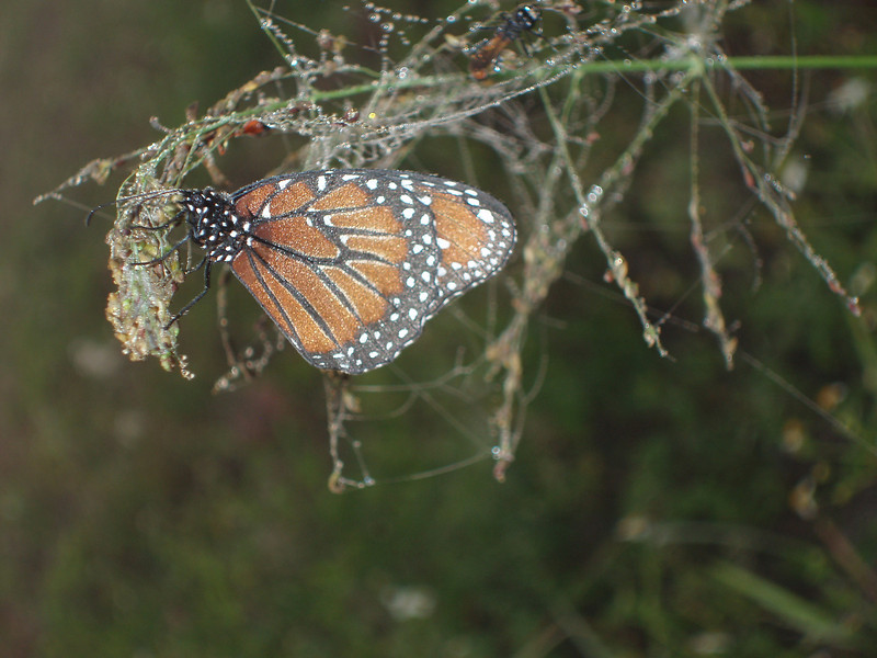 A monarch awakes<br /> PHOTO CREDIT: Robert Coveney / Florida Trail Association