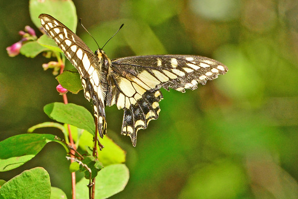 South Fork WW River Butterflies. ETC._6-21-16