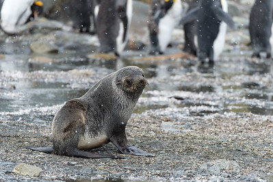 Young fur seal