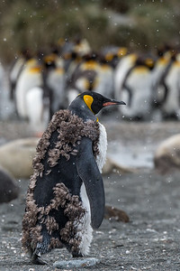 Moulting King Penguin