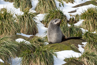 Fur seal in tussock grass