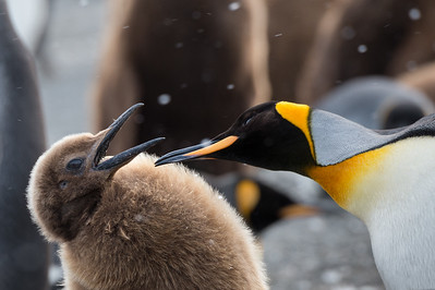 King penguin chick and adult