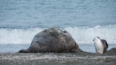Gentoo contemplating Elephant Seal