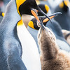 King penguin mom feeds youngster.  Photo by Ron Gates at St. Andrews Bay on Oct. 28, 2016