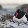 A Magellantic Oystercatcher on her nest with eggs at Sea Lion Island, Falklands. I needed to carefully watch my step as I walked along the top of the beach in the early morning light. So much wonderful wildlife activity displayed in front of me. Amazing. Created by Kent Downing on October 16, 2016 at 6:22am.
