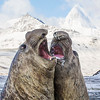 Elephant Seals. October 28,2016. St. Andrews Bay, South Georgia. By Philip Horowitz and jacqueline S. Watskin