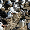 Rockhopper Penguins living among the Black-browed Albatross colony, Steeple Jason Island, Falkland Islands, by Maggie Tieger, November 3, 2016