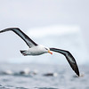 Black-browed Albatross photographed from zodiak. October 29, 2016. Cooper Bay, South Georgia. By Philip Horowitz and jacqueline S. Watskin