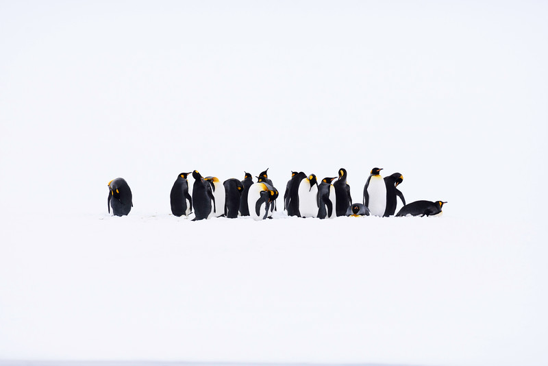 King Penguins, Right Whale Bay, South Georgia, by Joe Tieger, October 30, 2016
