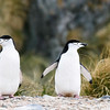 Chinstrap Penguins from zodiac in Cooper Bay, South Georgia, by Joe Tieger, October 29, 2016