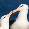 Pair of Black-Browed Albatross at nest, engaged in bill-clacking. New Island, Falkland Islands. Image created by Kent Downing on November 4, 2016 at 8:38 AM.