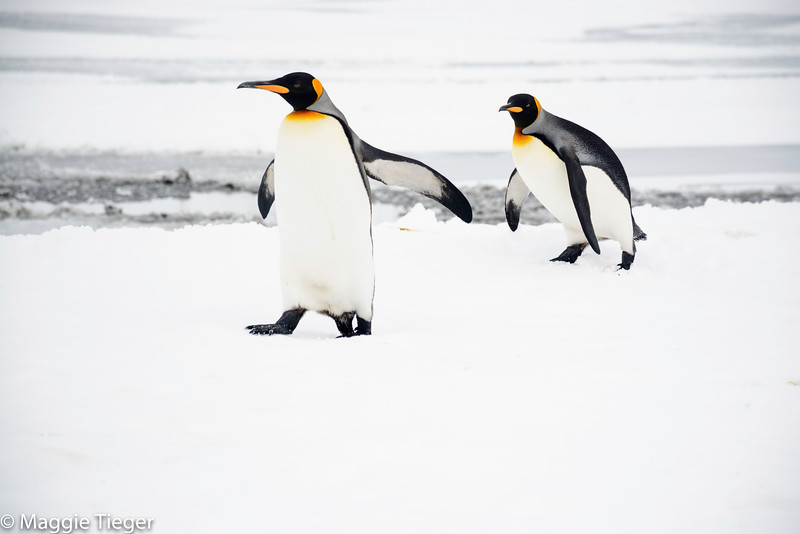 A King Penguin tripping in the snow, Right Whale Bay, South Georgia Island, by Maggie Tieger, October 30, 2016