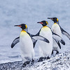 King Penguins. October 27, 2016. Fortuna Bay,South Georgia. By Philip Horowitz and Jacqueline S. Watskin