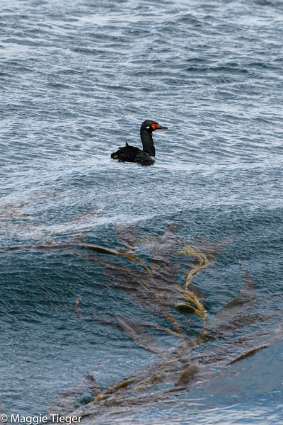 Magellanic (Rock) Cormorant and kelp, off Sea Lion Island, Falkland Islands, by Maggie Tieger, November 2, 2016