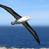 Albatross in Flight, Steeple Jason Island; Jim Reid, 11/3/2016