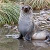 Antarctic Fur Seal female on South Georgia Island by Doug Cheeseman, January 2008.