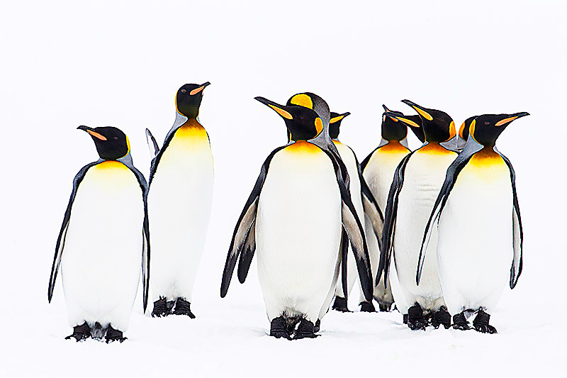 King Penguins. October 30, 2016. Right Whale Bay, South Georgia. By Philip Horowitz and jacqueline S. Watskin