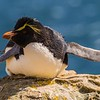 Rockhopper penguin, New Island, Falklands, taken by Nick Hamill on November 4,2016