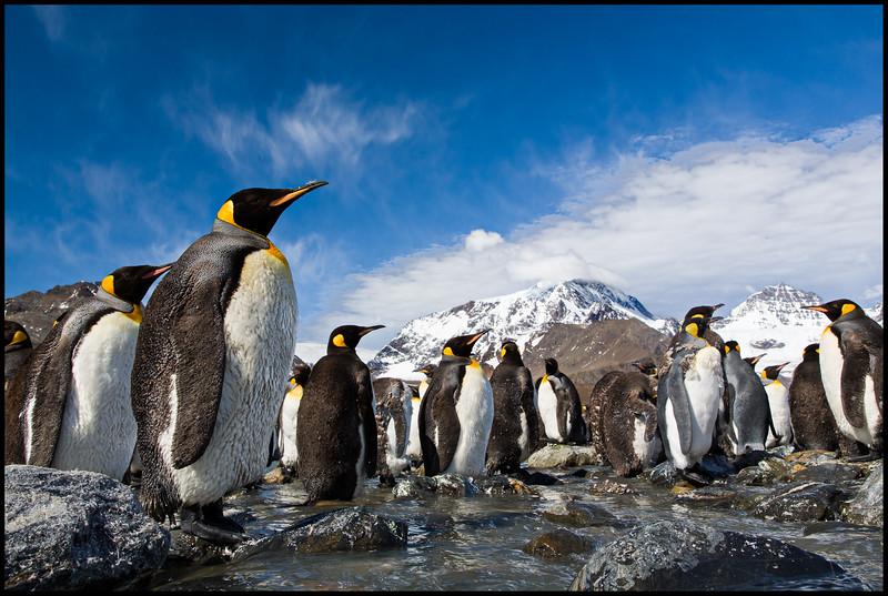 King penguins, St Andrew bay near glacier, South Georgia, January 2015. Patrick Richebé.