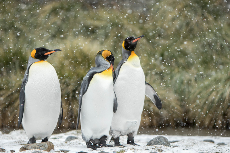 King Penqins standing in Snow storm.  Fortuna Bay,South Georgia Oct 27 2016 by Barry Hornby