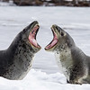 Leopard Seals. October 30, 2016. Right Whale Bay, South Georgia. By Philip Horowitz and JacquelineS. Watskin