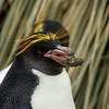 Macaroni Penguin holding Stone in Beak to build Nest.  Cooper Bay,South Georgia Oct 29 2016 by Barry Hornby