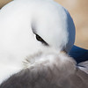 Black-browed Albatross. November 3, 2016. Steeple Jason, Falklands. By Philip Horowitz and jacqueline S. Watskin