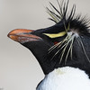 Rockhopper Penguins always have a bad hair day, New Island, Falkland Islands, by Maggie Tieger, November 4, 2016
