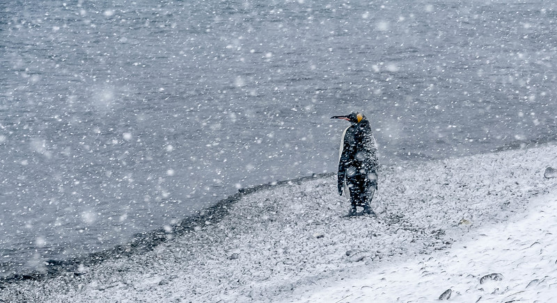 Lone king penguin on snowy morning in Fortuna Bay. Taken by Lyn Emerich in October 2016.