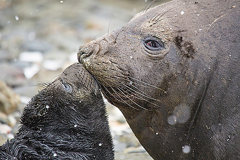 Elephant Seals. October 28,2016. Fortuna Bay, South Georgia. By Philip Horowitz and jacqueline S. Watskin