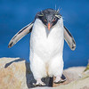 Rockhopper Penguin. November 4, 2016. New Island, Falklands. By Philip Horowitz and jacqueline S. Watskin