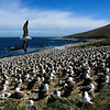 Black-browed Albatross colony, note the huge size of the colony which extends well beyond the image, Steeple Jason Island, Falkland Islands, by Maggie Tieger, November 3, 2016