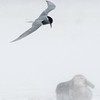 Blowing Snow.  Antarctic Tern and Northern Giant Petrel, Fortuna Bay, South Georgia Island, by Maggie Tieger, October 27, 2016