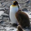 King Penguin Feeding Chick, St Andrews Bay; Jim Reid, 10/28/2016