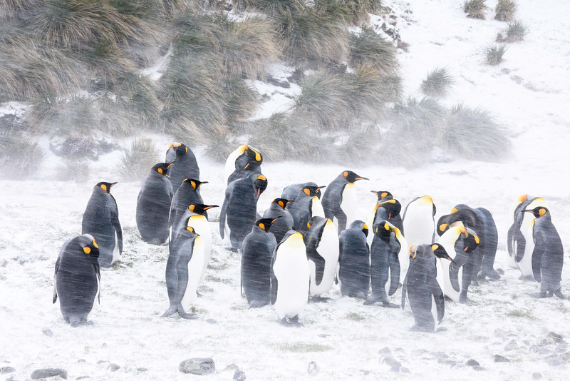 King Penguins in the blowing snow, Fortuna Bay, South Georgia, by Joe Tieger, October 27, 2016