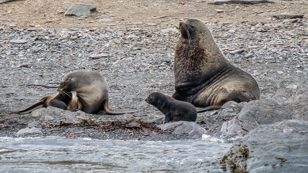 Fur Seal Family, Cooper Bay, South Georgia