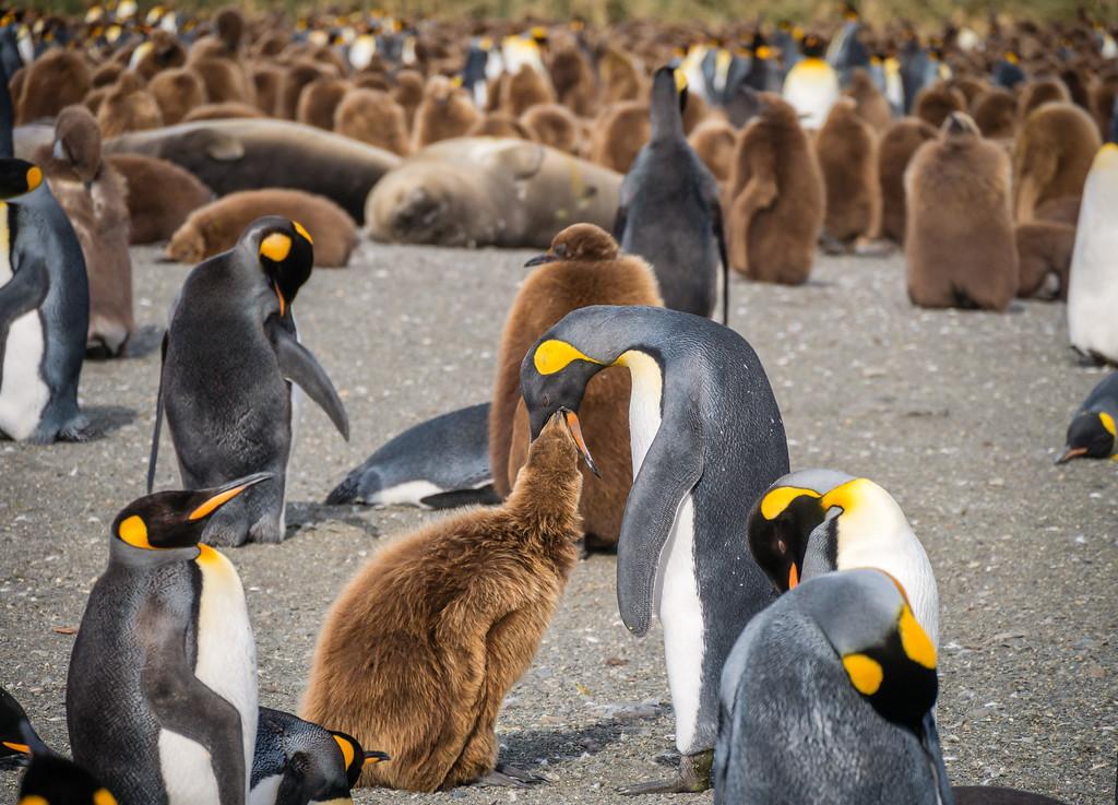 King Penguin Feeding, Gold Harbour, South Georgia
