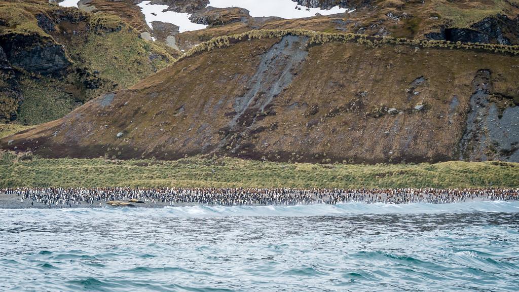 Penguins in Royal Bay, South Georgia