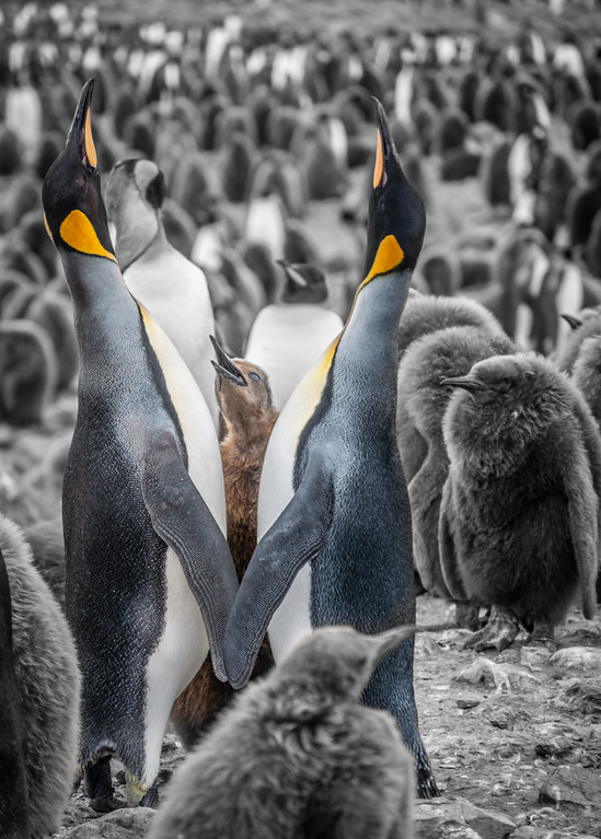 King Penguin Chick, St. Andrews, South Georgia