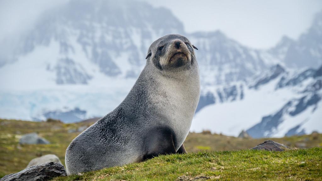 Fur Seal Pup, St. Andrews Bay, South Georgia