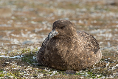 Antarctic skua