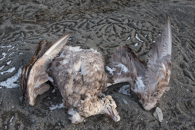 Giant petrel becomes the scavenged