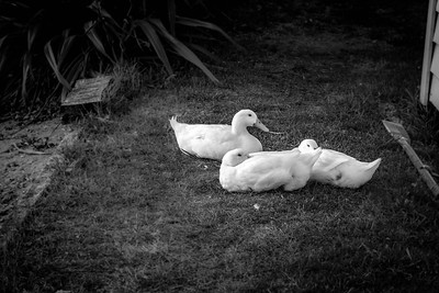 Black and white ducks