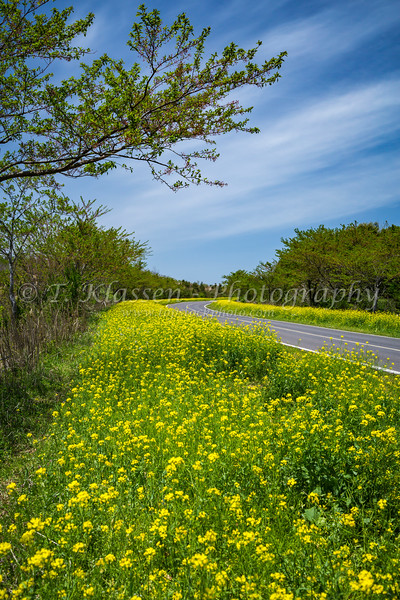 Yellow blooming canola along the roadways on Jeju Island, South Korea, Asia.